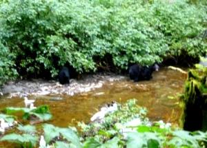 Bears having lunch