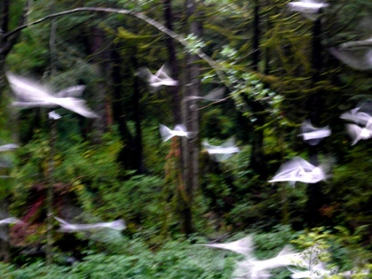 Rainforest Gulls