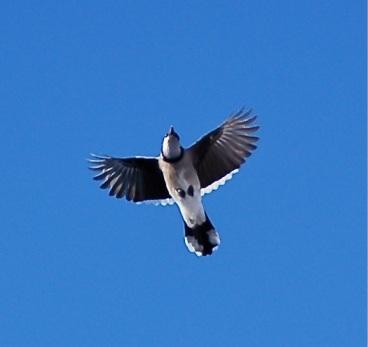 Blue Jay flying overhead
