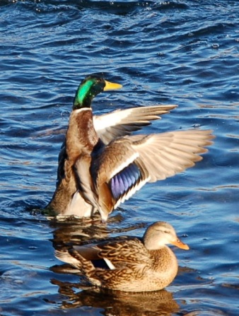 Male & Female Mallard