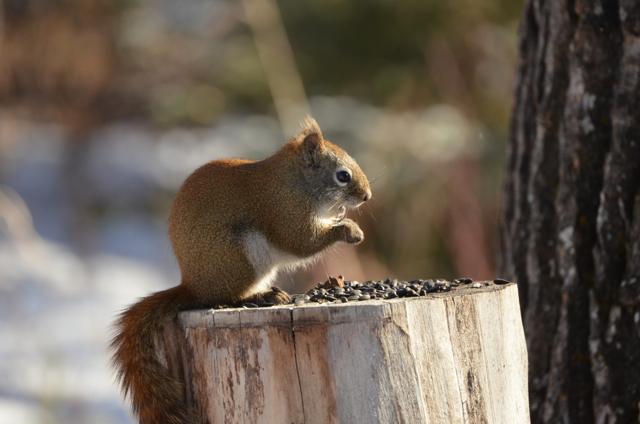 Squirrel at breakfast