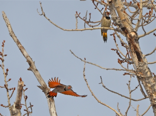 Red & Yellow-Shafted Flickers