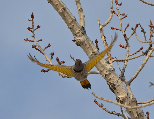 Yellow-shafted Northern Flicker or Hybrid?
