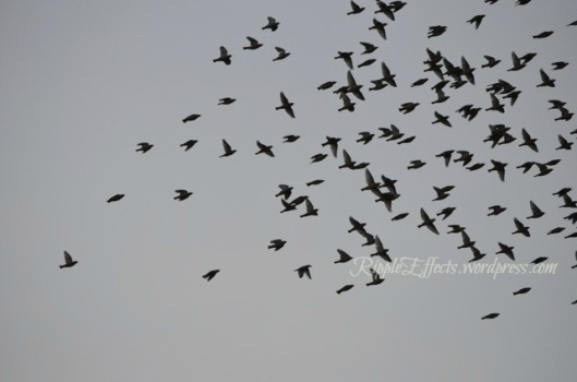Flocks of Bohemian Waxwings