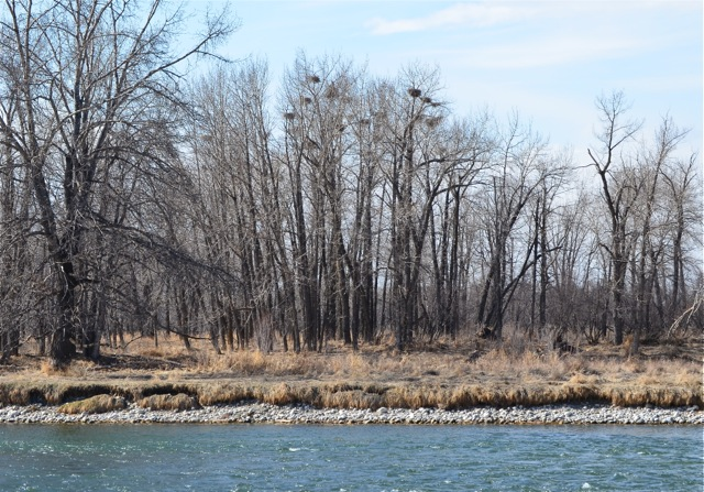 Great Blue Heron nests from afar