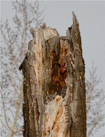 Owl nesting