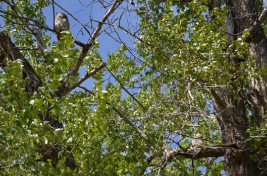 Parent Owl and Owlet
