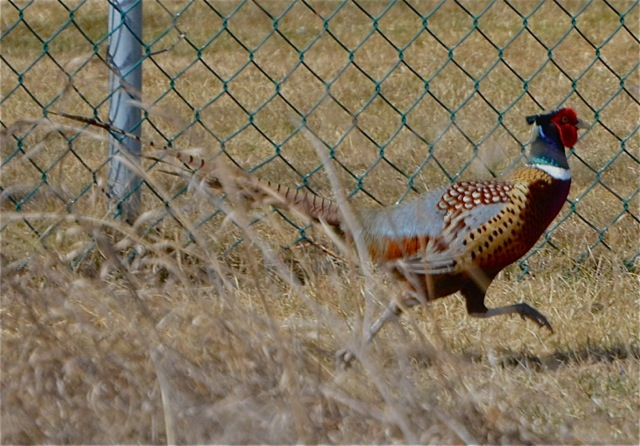 Running Pheasant 1