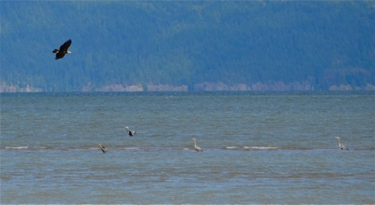 Bald Eagle approaching Great Blue Herons