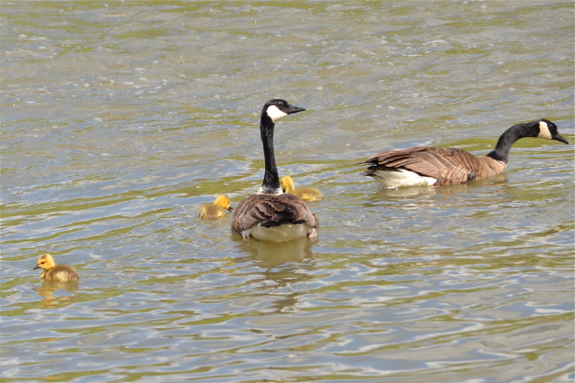 Canada Geese outing
