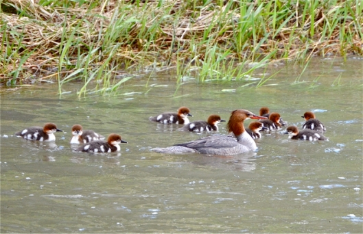Mom Merganser and Babies