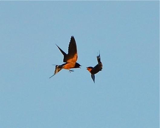 Swallows mid-air dispute