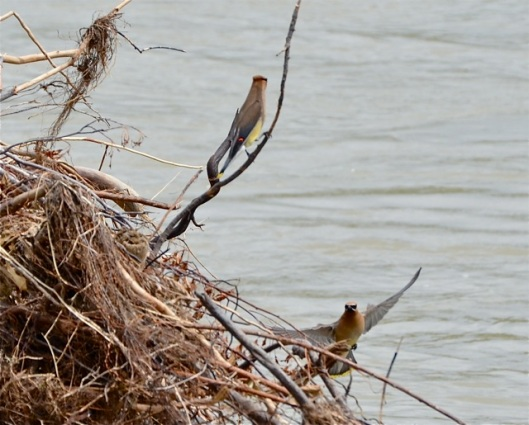 Cedar Waxwings frolicking
