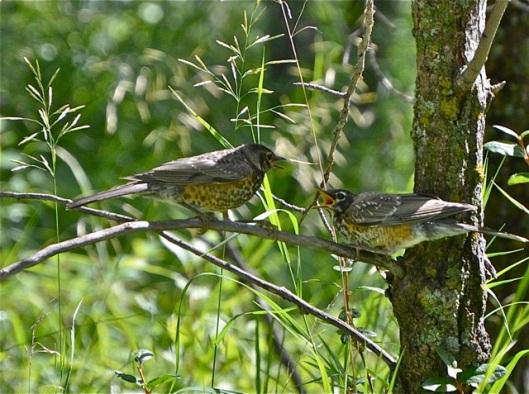 Two juvenile Robins