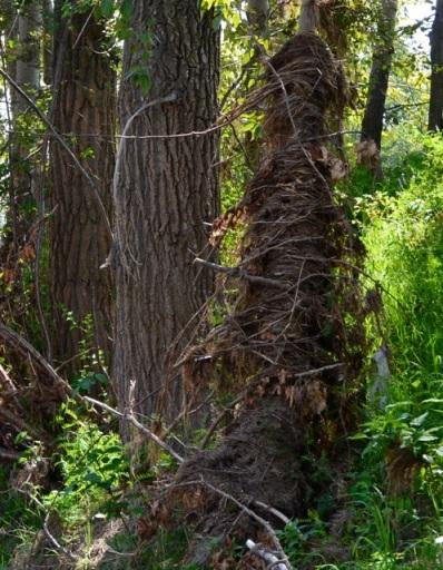 Debris wrapped around tree trunk