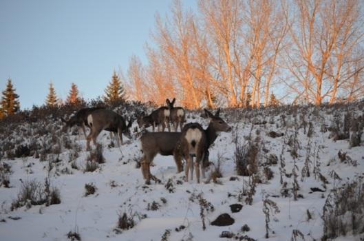 Deer at evening meal