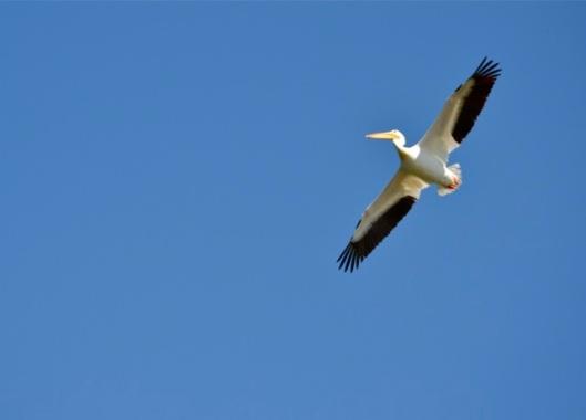 Pelican overhead