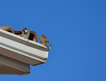 Sparrows nesting on roof