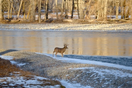 Buck at the River
