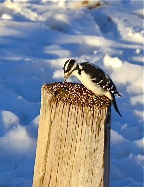 Fast Food for Woodpecker