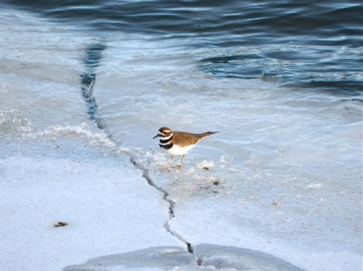 Killdeer On Ice