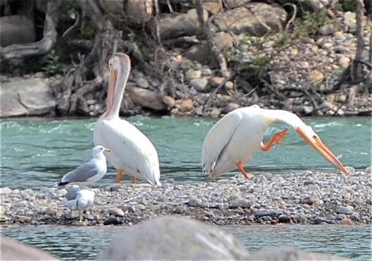 A Pelican scratch an itch?