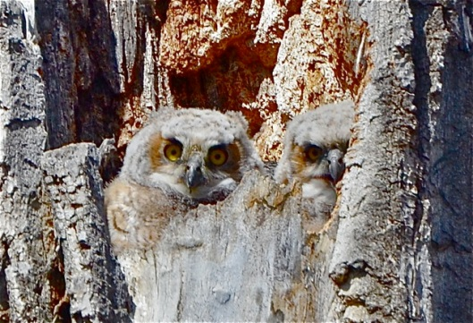 2 Owlets