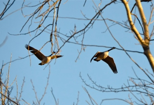 Canada Geese flying in woods