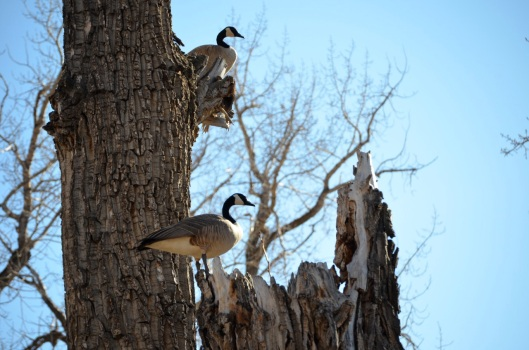 Canada Geese nesting 1