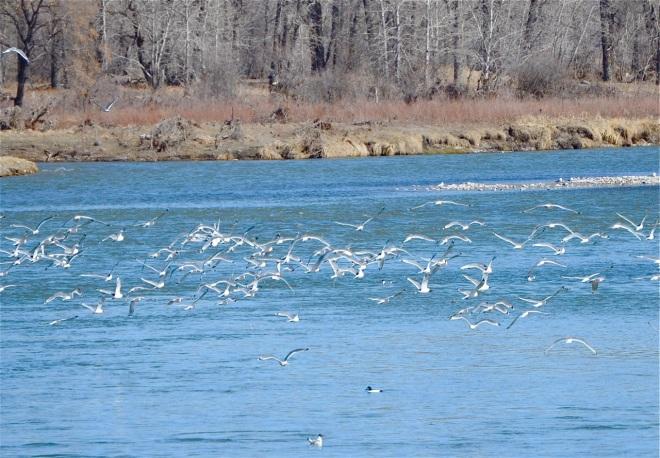 Flocks of Franklin's Gulls