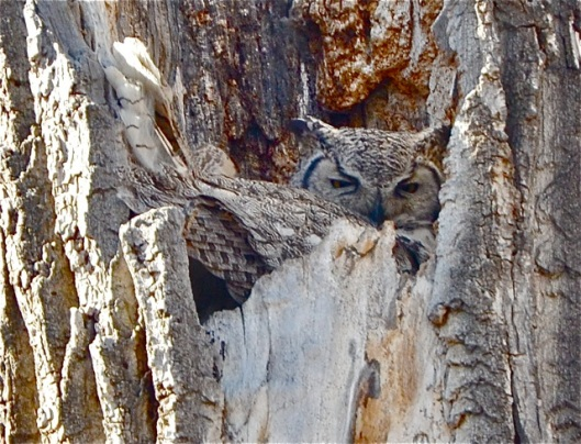 Mama Owl nursing young babes