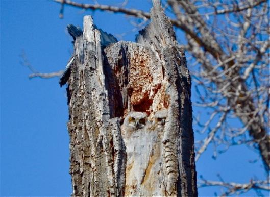Owlets in nest inside trunk