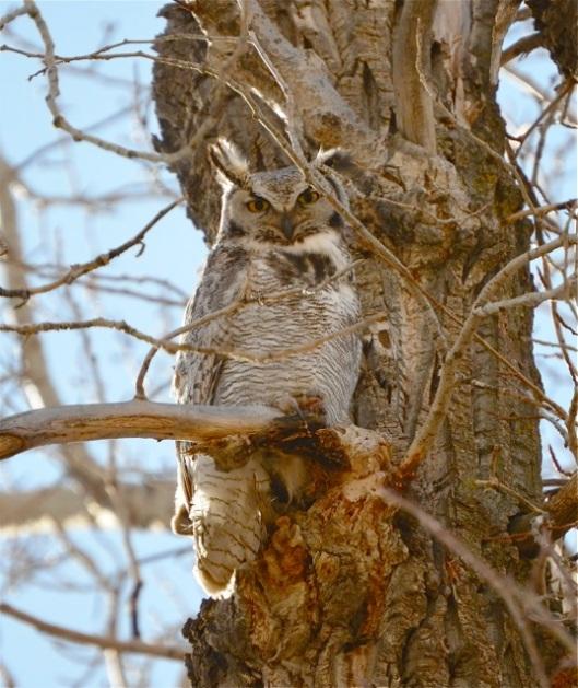 Papa Owl watching from afar