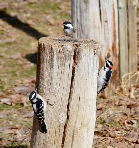 Woodpeckers & Chickadee