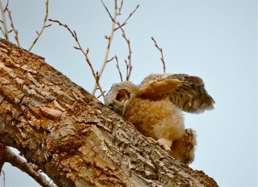 Owlet 2