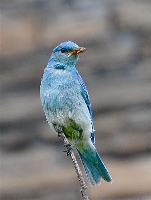 Bluebird in Cochrane 1