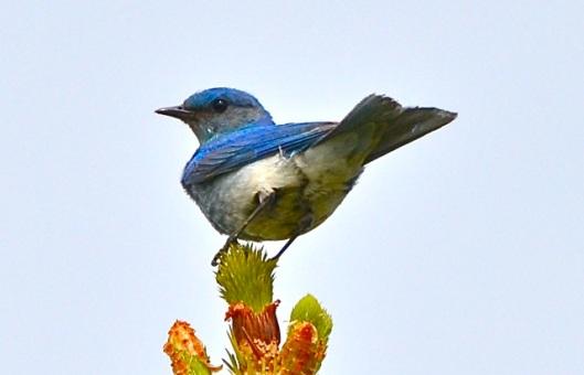 Bluebird in Cochrane