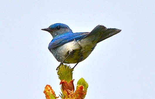 Bluebird in Cochrane