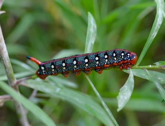 A Centipede?