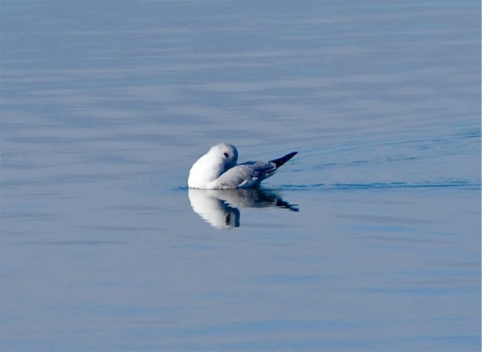 Bonaparte's Gull preening
