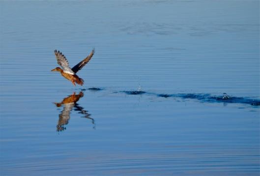 Female Mallard skimming over the water