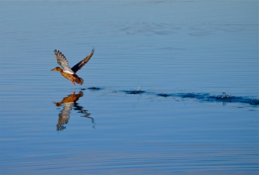 Female Mallard skimming over the water