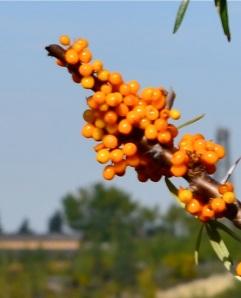 Orangey berries