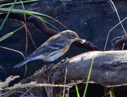 Warbler munching on bug