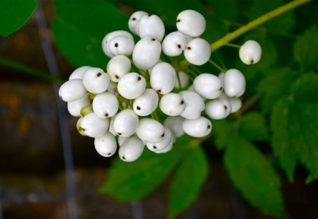 White berries