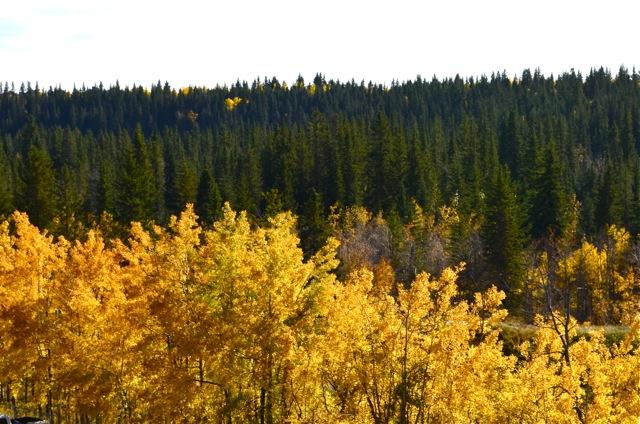 Yellow Against Coniferous