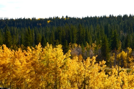 Yellow Against Coniferous