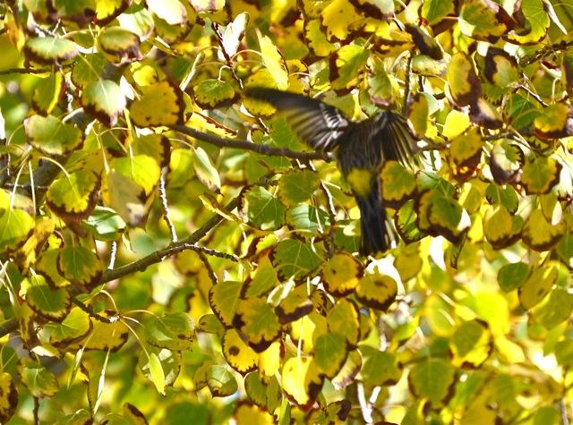 Yellow Rump among Yellow Leaves