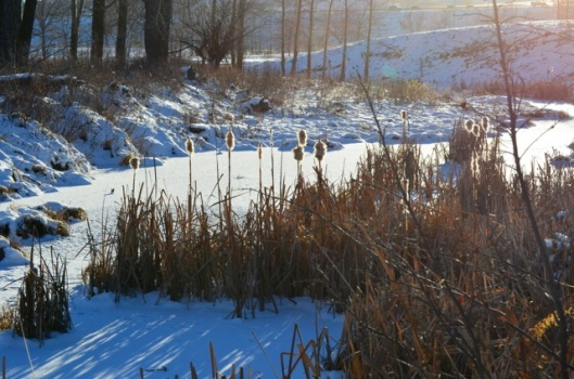 Pussywillow Cattails