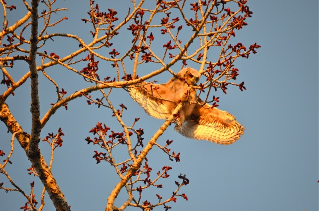 Owlet spreads wings